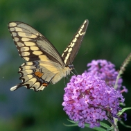 butterfly_giant_swallowtail_model